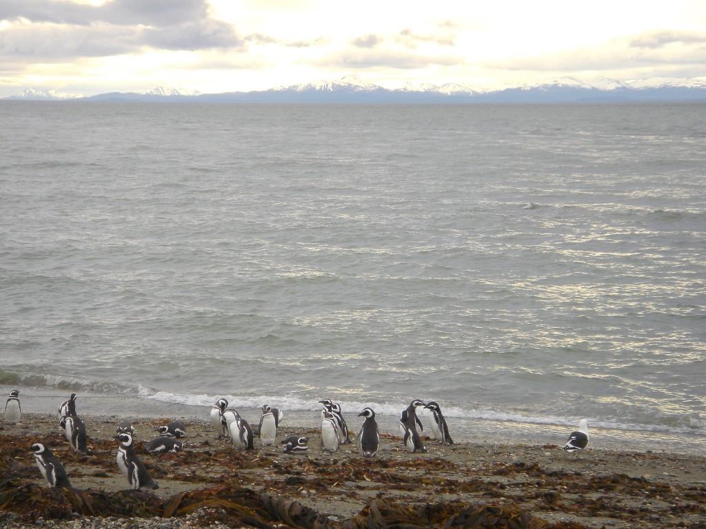 Patagonia-PuntaArenas-SenoOtway-PenguinsOnBeach5-fnl (1)